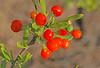 CAE004779a (jerryoldenettel) Tags: 170904 2017 asterids lycium lyciumtorreyi nm perchadamstatepark sierraco solanaceae solanales torreyswolfberry wildflower bush flower wolfberry