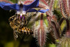 Honey Bee (betadecay2000) Tags: bee honey biene bienen honigbienen insekten insect insects insekt tier tiere animal animals germany german deutschland deutsch fluginsekt darfeld nrw fliegen münsterland rosendahl rosendahldarfeld