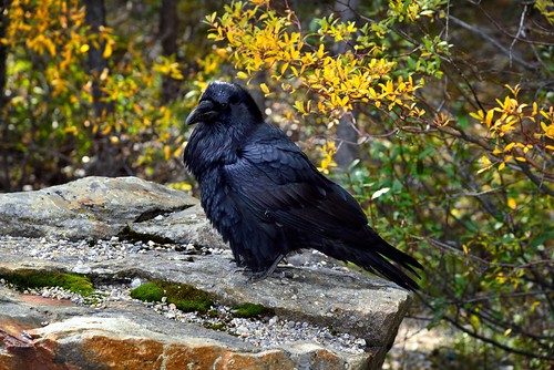 A Raven Posing for the Camera...or Was It Waiting for that Chance to Find Something I Might Drop? (Banff National Park)