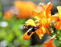 Bumble bee loaded with pollen (greenkayak) Tags: bumblebee pollen sacscape honeysuckle backyard nature outdoors valrico florida insect flying orange black macro