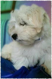 Alfie watching TV  .... #alfie #zuchon #puppy #dog #shitzuxbichonfrise #beautiful #jennyparry