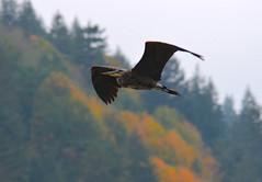 Crusing The Vedder (Neal D) Tags: bc chilliwack vedderriver veddercrossing bird heron greatblueheron ardeaherodias