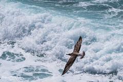 (--marcello--) Tags: gabbiano uccello mare natura nature birds sea animals seagull