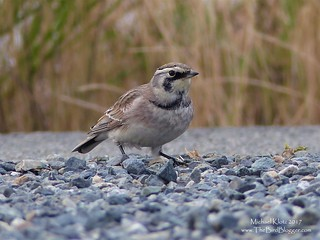 Horned Lark - Richmond, BC