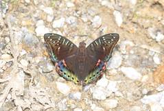 Euthalia sp. (Pasha Kirillov) Tags: indonesia geo:country=indonesia sumatra gunungleuser kedah nymphalidae taxonomy:family=nymphalidae lepidoptera taxonomy:order=lepidoptera butterfly euthalia