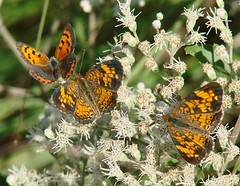 Follow The Leader (mcnod) Tags: mcnod bwibiketrail americancopper lycaenaphlaeas pearlcrescent phyciodestharos boneset september 2017