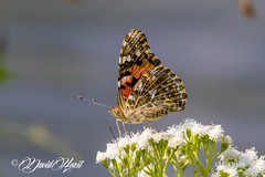 Butterfly (david.horst.7) Tags: butterfly nature wildlife outdoors