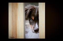 """Nutella"" (YellowSingle 单黄) Tags: miniaussie yellowsingle american shepherd chocolate dog puppies nutella puppy chiot"