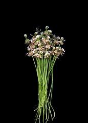 58487.01 Trifolium repens (horticultural art) Tags: horticulturalart trifoliumrepens trifolium whiteclover clover flowers bunch bouquet