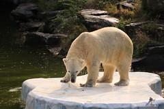 Zoo und Tierpark Berlin 17.09.2017 075 (Fruehlingsstern) Tags: panda pandagarden mengmeng jiaoqing zooberlin eisbären polarbear tonja wolodja schneeleopard kitai elefant edgar tierparkberlin berlin canoneos750 tamron16300