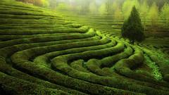Green tea field (ky0ncheng) Tags: green greentea jaewoonu korea s tea spotlight