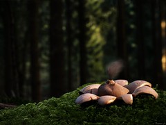 Stardust (Eifeltopia) Tags: fungus mushroom pilz bollendorf grünehölle sporen spores erdstern stardust sternenstaub wald forest eifel südeifel greenhell autumn herbst geastrum ant ameise makro geastrales moos moss insect light enchanted rheinlandpfalz star nadelwald coniferousforest grzyby champignons wunderwelt naturfoto fungi felsenland makrowelten