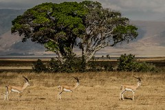 GRANTS GAZELLE (dmberman1) Tags: eastafrica wildlife grantsgazelle animals tanzania africasafari ngorongoro