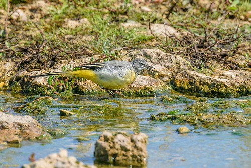 Grey Wagtail (Motacilla cinerea), 1st summer male