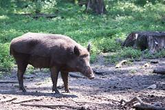 Wild boar (Cloudtail the Snow Leopard) Tags: wildschwein wildpark hanau alte fasanerie klein auenheim tier animal boar mammal pig säugetier schwein scrofa sus wild swine