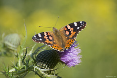 Butterfly 2017-126 (michaelramsdell1967) Tags: field beauty color nature macro animals summer bokeh beautiful orange butterfly animal lady pretty green insect vivid insects wildlife zen wild detail vibrant bug butterflies meadow bugs wilderness painted wildflower