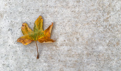 Autumn's first victim (FotoGrazio) Tags: autumn waynegrazio waynesgrazio alone art changeofseasons circleoflife composition concrete cycleoflife death dry dying fall fotograzio leaf leaves lonely minimalism minimalist nature orangeandgreen organic sad stem texture wading