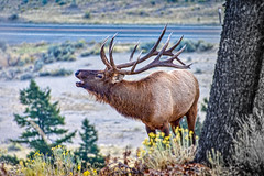 Hear me roar! (Pejasar) Tags: elk bull beauty roar mammal animal mammothsprings yellowstone antlers bellow matingcall nationalpark