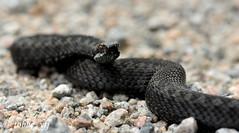 Vipera (tobbe_yfj) Tags: snake orm serpent huggorm additionneur viperaberus vipera viper commoneuropeanadder adder blackadder vipère kyy