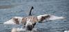 DSC_8995 (Beth Rizzo) Tags: wildlife birds cormorant duck mallard rabbit bunny swan cedarwaxwing cedar waxwing grapes cygnet heron blueheron nature pond woburn hornpond hornpondwoburn sandpiper babyswan feathering