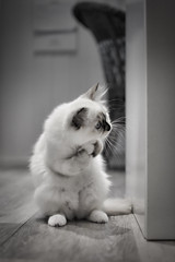 is that reflection.. (Uniquva) Tags: kitten standing