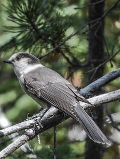 Gray Jay...............   Perisoreus canadensis