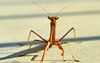 Mantis Macro (Sage Girl Photography) Tags: ngc insect frontporch prayingmantis nature outdoors closeup sagegirl wilminton northcarolina nikond3300