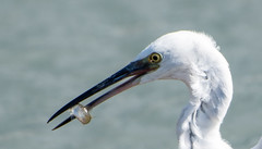Little Egret with lunch_