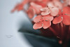IXORA COCCINEA (Zara Calista) Tags: ixora coccinea maui orange pink color peach coral plant macro tamron 180mm nikon d750 flower bloom blossom outdoors bokeh blur dof jungle geranium flame woods nature faded muted depth field california floral