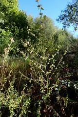 *Melissa officinalis, LEMON BALM. (openspacer) Tags: jasperridgebiologicalpreserve jrbp lamiaceae lemonbalm melissa nonnative riparian