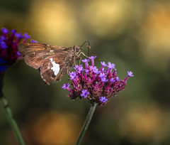 Bud Bandit (Portraying Life, LLC) Tags: dbg6 da3004 hd14tc k1 michigan pentax ricoh unitedstates butterfly closecrop handheld nativelighting skipper matthaeibotanicalgarden