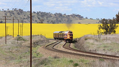 4204 running the CANOLA (Jungle Jack Movements (ferroequinologist)) Tags: fantastic sound canola nsw nswr nswgr 4204 4716 power lvr lachlan valley railway crop farm colorado road harden demondrille new south wales yellow flower australia australian locomotive loco locos grunt performance diesel electric rail railroad rails line bogie engineer train engine appliance kw traction run freight load pull gunzel gunzelling gunzeller transit authority 列車 培养 la traîne die eisenbahn treno el tren электровоз 内燃机车 station set platform pickup carriage trip stabled ballast class livery bulldog