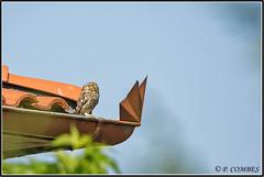 _DSC0032_Chevêche d'Athéna (patounet53) Tags: athenenoctua chevêchedathéna littleowl strigidés strigiformes bird oiseau