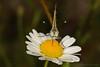 Aporia crataegi - (Linnaeus. 1758) - Le gazé - Pieridae - Espinouse 34 - FRANCE (michel-candel) Tags: aporia crataegi linnaeus 1758 le gazé pieridae espinouse 34 france