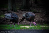 West Paterson NJ (georgerached) Tags: goblegoble thanksgiving wildturkeys westpaterson wild nature turkey love instagood photooftheday instagram travel wow instadaily