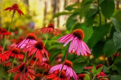 Summer Beauties (Wes Iversen) Tags: bokehwednesday burton formarnaturepreservearboretum hbw michigan nikkor18300mm blooms blossoms coneflowers echinacea flowers