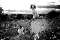 Mols & Rups on one of our early evening walks! (Missy Jussy) Tags: mollie molliemunch rupert rupertbear dogs pets animalportrait animals englishspringer springerspaniel spaniel logs trees landscape views farmland sky evening france southwestfrance labrugere holiday dogwalk dogportrait dordogne blackwhite blackandwhite bw mono macro 50mm ef50mmf18ll canon50mm fantastic50mm canon canon5dmarkll littledoglaughednoiret