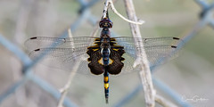 Black Saddlebags Dragonfly (craig goettsch) Tags: hendersonbirdviewingpreserve2017 bug black saddlebags dragonfly nature wildlife nikon d500