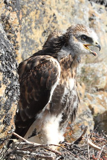Rough-legged Hawk teenager