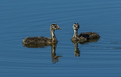 Great crested grebe - youngsters (Bojan Žavcer) Tags: greatcrestedgrebe animal wildlife nature canoneos7dmarkii ef600mmf4lisusm podicepscristatus