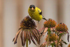 Stay Back ... I Own This Flower (Ken Krach Photography) Tags: goldfinch coneflower