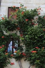 (pesce_d_aprile) Tags: feltre belluno provinciadibelluno veneto italia italy summer flowers fiori pianterampicanti centrostorico