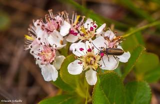 Brown beetle on chokeberry