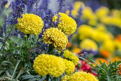 Blooming Rainbow. (Omygodtom) Tags: color contrast colours colorful flickr flower outside garden flora fleur 7dwf nikon70300mmvrlens nikkor nature nikon dof d7100 bokeh