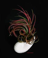 (2594) Tillandsia pruinosa x velutina (QuimG) Tags: tillandsias tillandsiapruinosaxvelutina natura nature naturaleza quimg quimgranell joaquimgranell