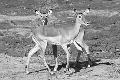 THE DUO B+W (Mike Reval) Tags: bw samburu kenya antilope animal