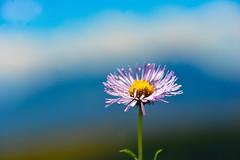 Only One (Karen McQuilkin) Tags: onlyone singleflower purple mountain