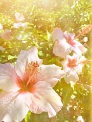 (Carey Mahoney) Tags: stackableapp stackables hibiscus
