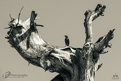 A Myna on a dead tree (FA Graphics and Photography) Tags: myna faphotography bird deadtree tree wallpaper blackandwhite canon