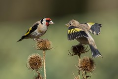 Goldfinch (Carduelis carduelis)   (Explored 01.09.2017) (Steven Whitehead) Tags: goldfinch gold finch wildlife wild nature red feeding feathers chick young 2017 canon canon5dmk4 500mm 500mmf4 500mmf4is canon500mm